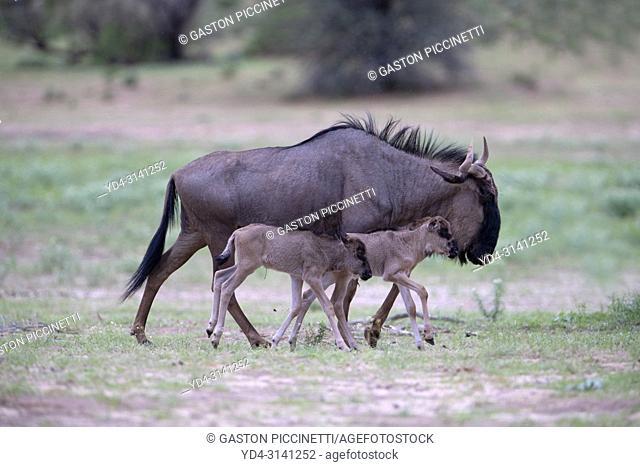Blue wildebeest (Connochaetes taurinus), Kgalagadi Transfrontier Park, Kalahari desert, South Africa/Botswana