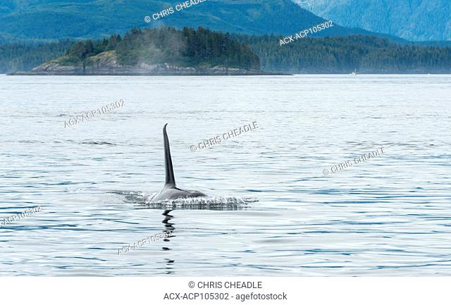Orca, Killer Whale , orcinus orca, near Telegraph Cove, Vancouver Island, British Columbia, Canada