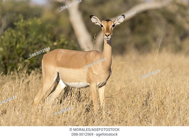 Africa, Southern Africa, South African Republic, Mala Mala game reserve, Impala (Aepyceros melampus), adult female