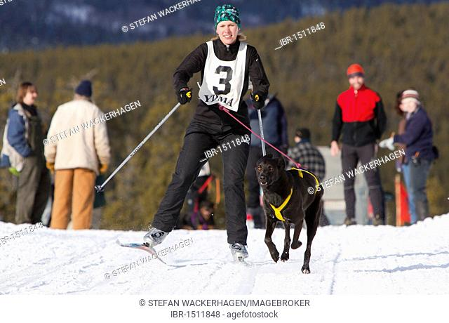 Young woman skijoring, skier pulled by a dog, running sled dog, Labrador, Lab mix, dog sled race near Whitehorse, Yukon Territory, Canada