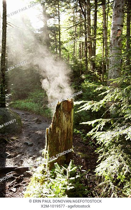 Steaming tree stump along the Ammonoosuc Ravine Trail during the summer months  Located in the White Mountains, New Hampshire USA