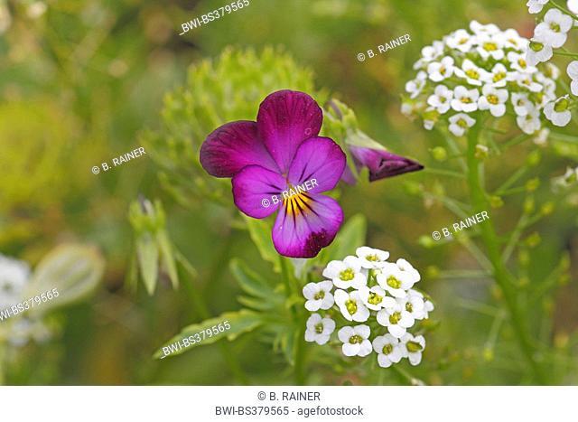 horned pansy, horned violet (Viola cornuta), pansy flower together with Sweet Alison