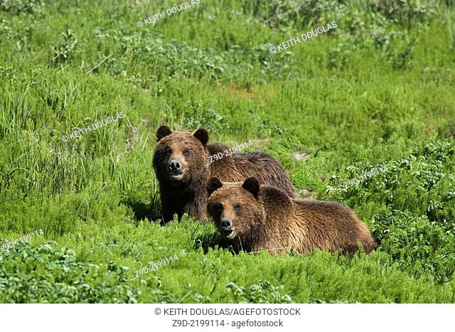 Grizzly bear twins in alpine near Eskay Creek gold mine, northwest BC