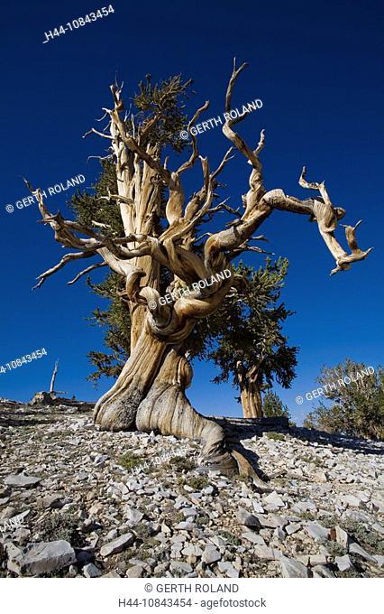 USA, America, United States, North America, Bristlecone Pines, Trees, California, Landscape, scenery, Scenic, North Am