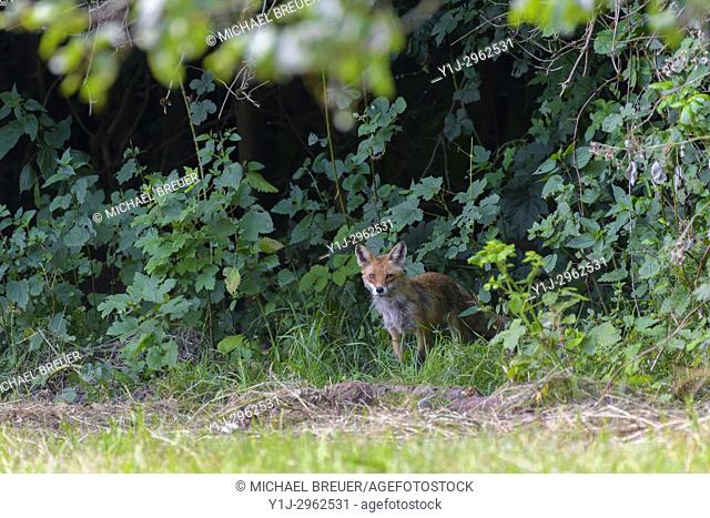 Red fox (Vulpes vulpes), Summer, Hesse, Germany, Europe