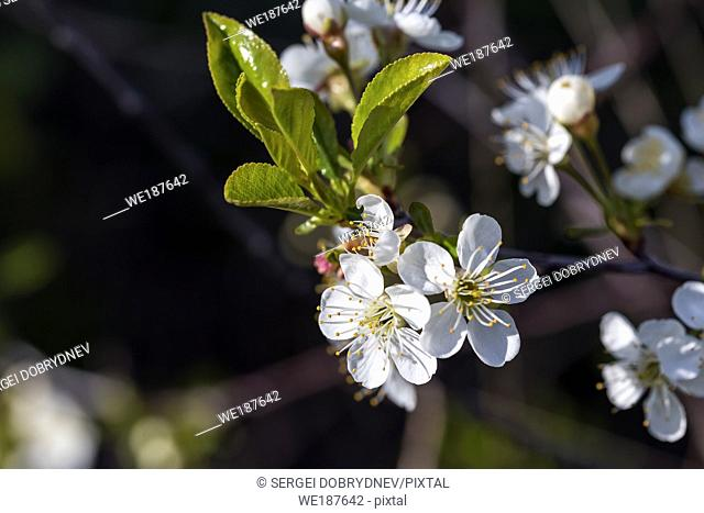 Flowering cherry branch in May close-up