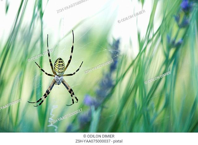 Large Argiope spider in center of it's web spun between flower stalks in garden