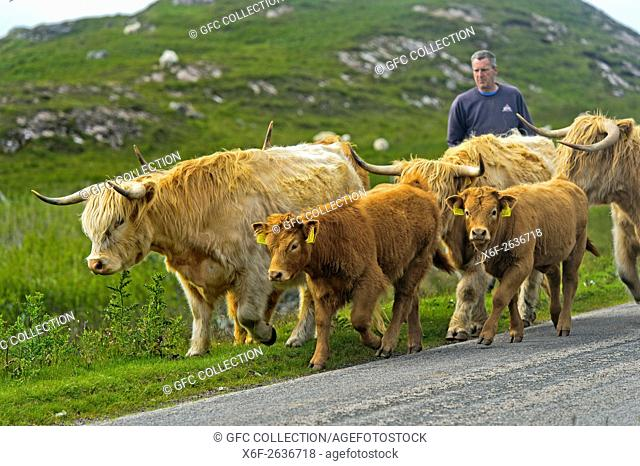 Crofter driving a herd of Scottish Highland Cattle or Kyloe, on a narrow country road, Assynt, Scotland, Great Britan
