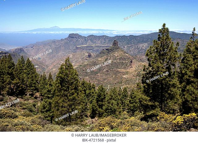 View from the trail around the Roque Nublo on blooming vegetation, Canary Island pines (Pinus canariensis), behind Tenerife island with Teide volcano and Roque...