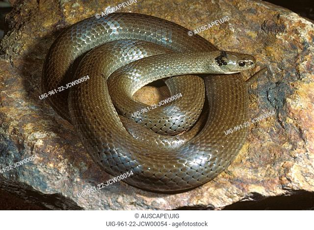 Grey snake (Hemiaspis damelii), nocturnal, main diet is frogs, Macquarie Marshes, New South Wales, Australia