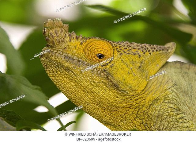 Parson's Chameleon (Calumma parsonii), male, Madagascar, Africa