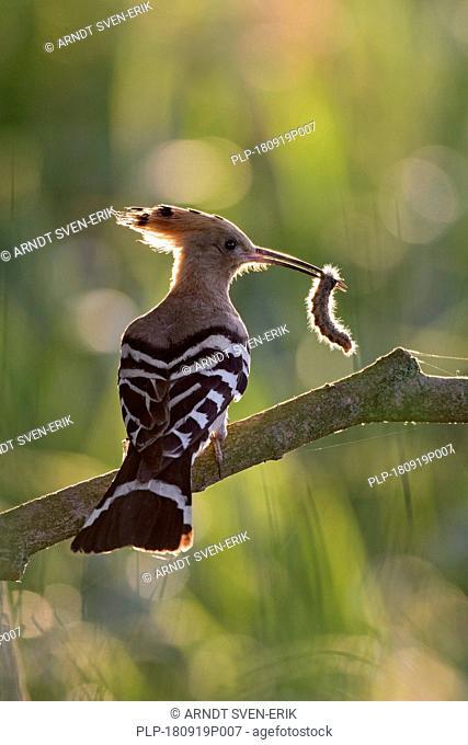 Eurasian hoopoe (Upupa epops) perched on branch with caught caterpillar prey in beak