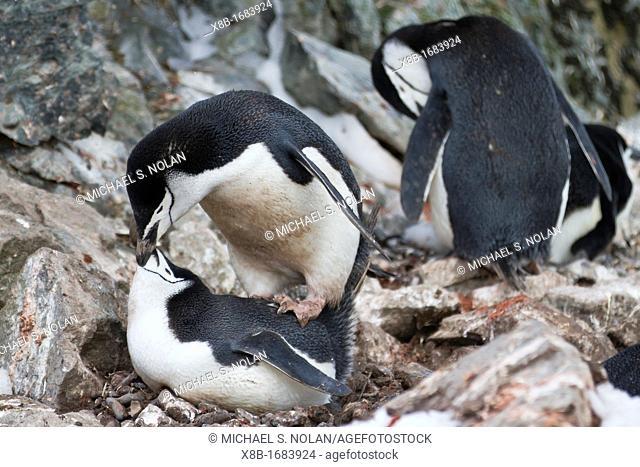 Chinstrap penguin Pygoscelis antarctica pair mating at breeding colony at Half Moon Island, Antarctica, Southern Ocean
