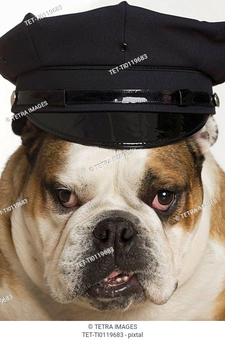 Bulldog dressed as a policeman