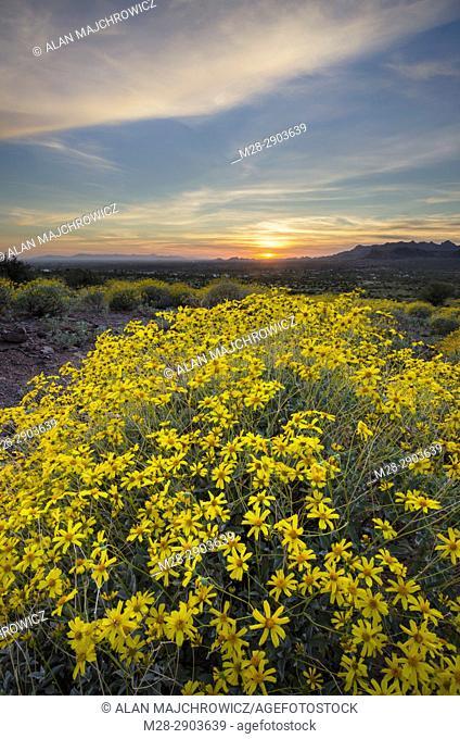 Sunset over fields of Brittlebush (Encelia farinosa), Superstition Mountains, Arizona