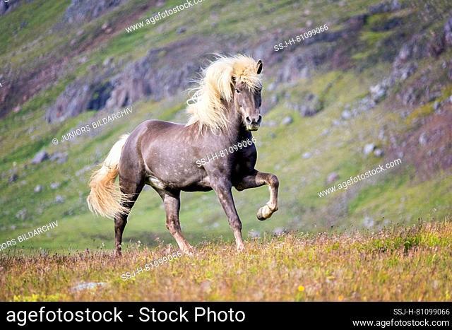 Icelandic Horse. Silver dapple stallion trotting in grass. Iceland