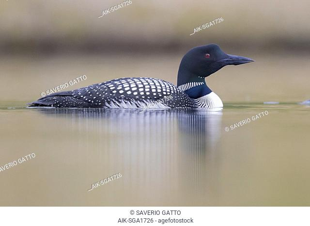 Great Northern Loon (Gavia immer), adult swimming in a lake