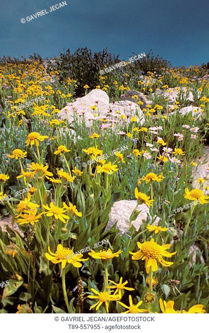 USA, Wyoming, Yellowstone National Park , Wild Flowers