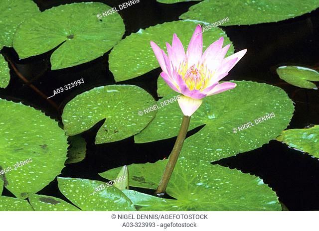 African Waterlily, Nymphaea capensis, Kruger National Park, South Africa