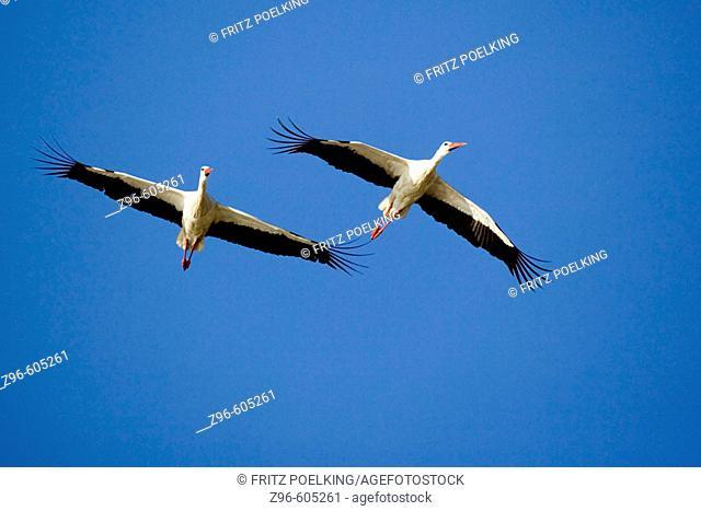 European Stork (Ciconia alba), Weißstorch, Weissstorch, Europäischer Weißstorch, Winterquartier, Zug, Lake Ndutu, Serengeti, Tanzania, Africa
