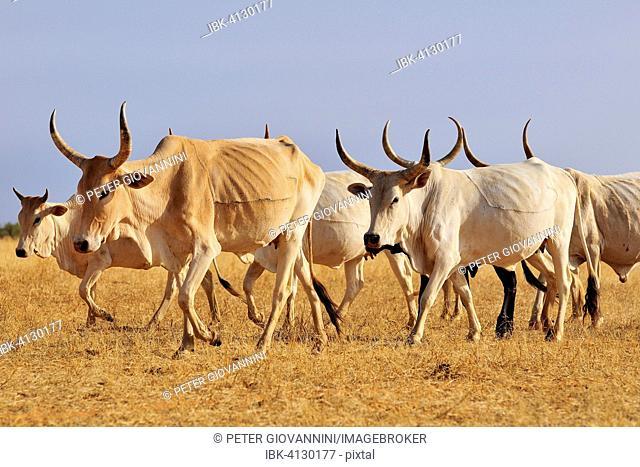 Cattle walking across the steppe, at Aleg, Brakna region, Mauritania