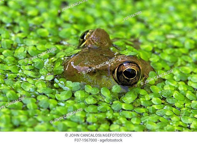 Green Frog Rana clamitans - New York - USA - in duckweed