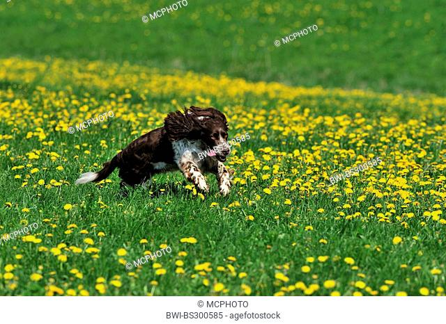 English Springer Spaniel (Canis lupus f. familiaris), running in a dandelion meadow , Germany