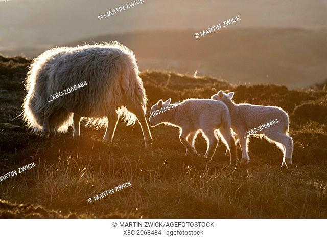 Shetland Sheep on the Shetland Islands. Shetland Sheep are a traditional, hardy breed of the Northern Isles in Scotland.  Europe, Great Britain, Scotland
