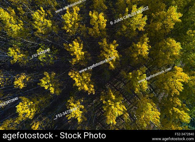 Poplar plantation with fall colors, Bobadilla, La Rioja, Spain, Europe