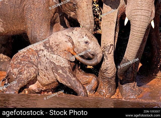 Junger afrikanischer Elefant (Loxodonta africana) am Ufer des Chobe, Botswana