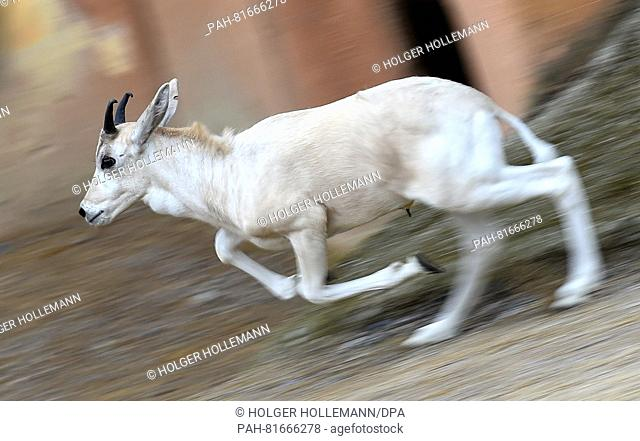 A young white Addax desert antelope springts through the outdoor enclosure at the zoo in Hannover, Germany, 30 June 2016