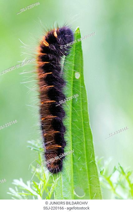 Fox Moth (Macrothylacia rubi), caterpillar on a leaf. Germany