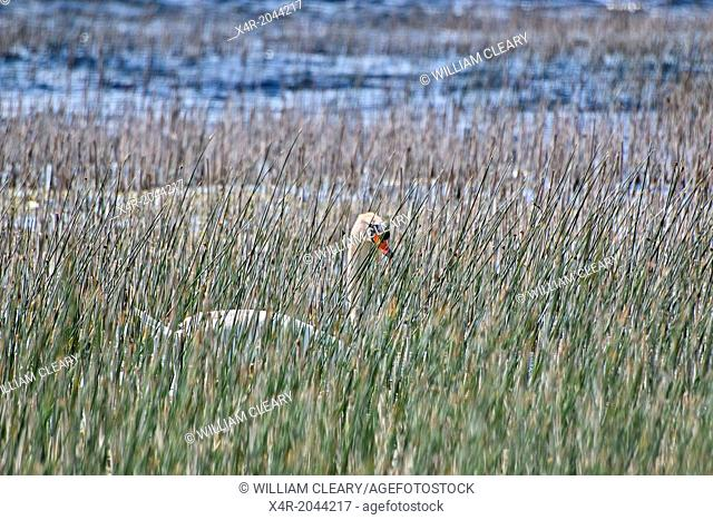 Mute swan among the reeds on Lough Ennell, County Westmeath, Ireland