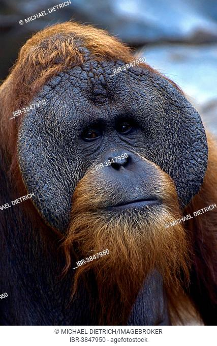 Sumatran Orangutan (Pongo abelii), old male, portrait, Cologne Zoo, Cologne, North Rhine-Westphalia, Germany