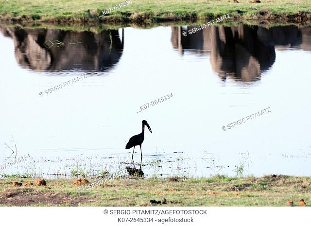 African Open-bill Stork (Anastomus lamelligerus), Chobe National Park, Botswana