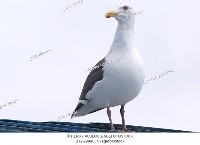 Slaty-backed Gull ( Larus schistisagus) , Japan (IUCN red list)