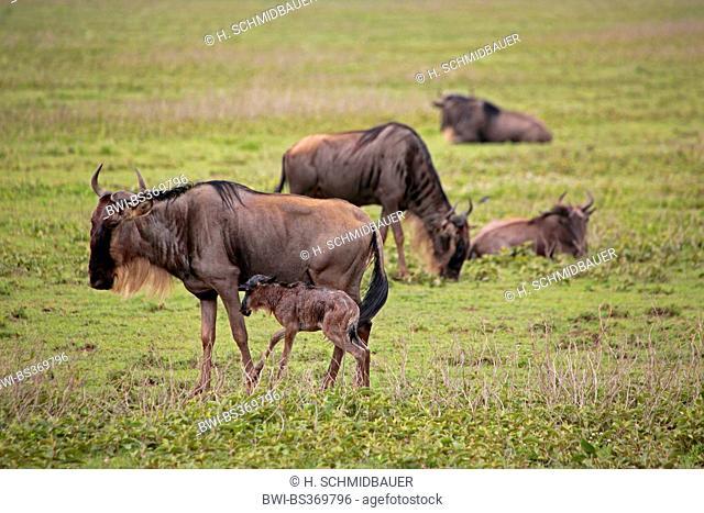 blue wildebeest, brindled gnu, white-bearded wildebeest (Connochaetes taurinus), mother with just born juvenile, Tanzania, Serengeti National Park