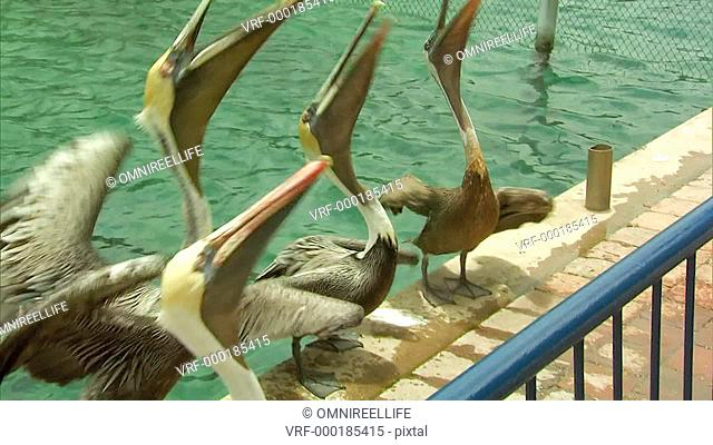 Four Grey Pelicans standing in a line on water's edge being thrown fish