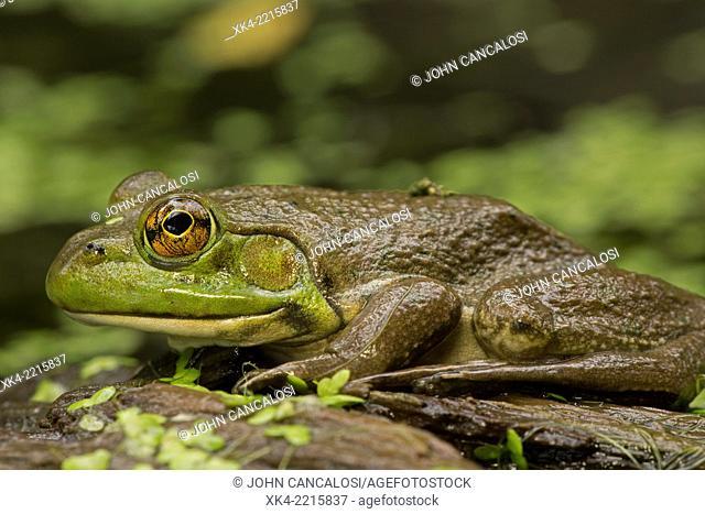 Bullfrog, (Rana catesbeiana), New York, USA