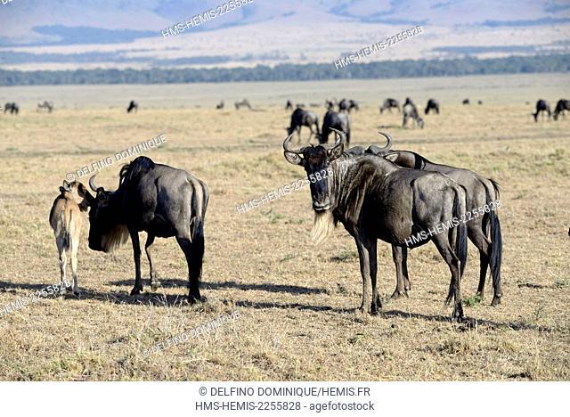 Kenya, Masai Mara Reserve, Wildebeest (Connochaetes) migrating on the savannah