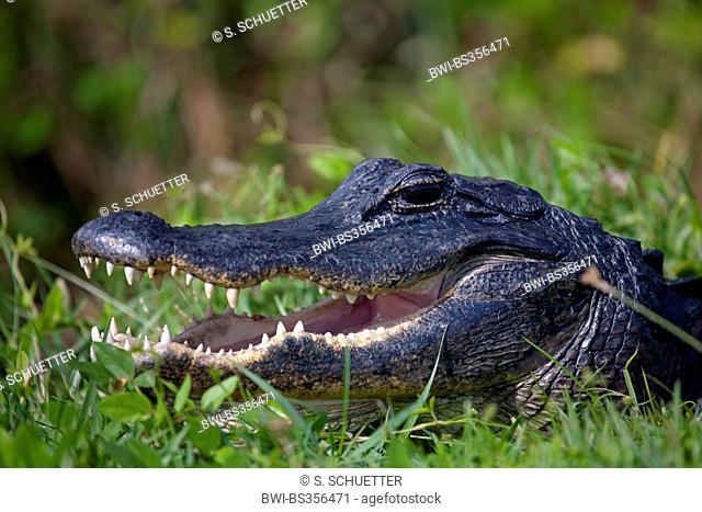 American alligator (Alligator mississippiensis), portrait, USA, Florida, Everglades National Park