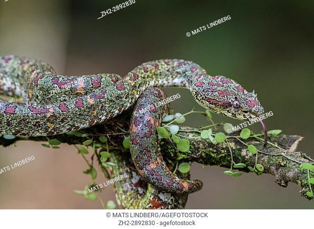Eyelash viper, Bothriechis schlegelii lying in a tree with his tongue sticking out at Laguna del lagarto, Boca Tapada, San Carlos, Costa Rica