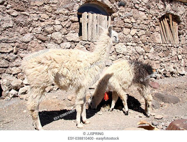 Lamas in a village at Isla del Pescado, Salar de Uyuni, Bolivia