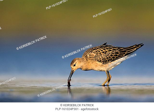 Ruff (Philomachus pugnax) juvenile feeding in shallow water of pond in summer