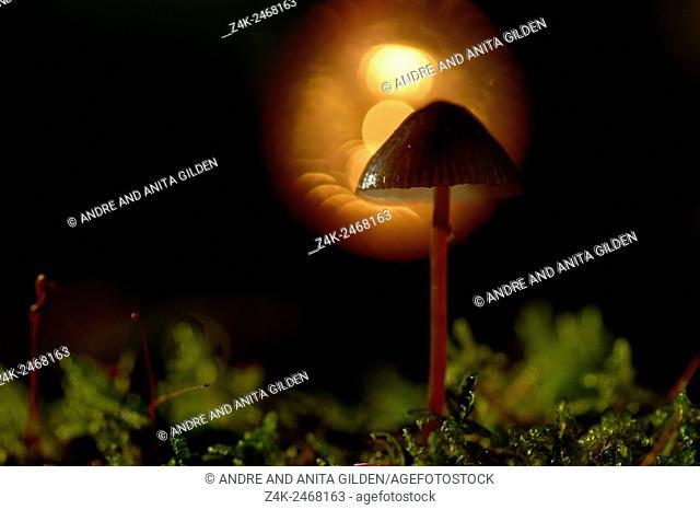 Scotch Bonnet (Marasmius oreades) on forest floor in backlight