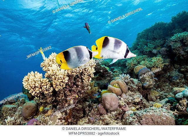 Double-saddle Butterflyfish, Chaetodon ulietensis, Osprey Reef, Coral Sea, Australia