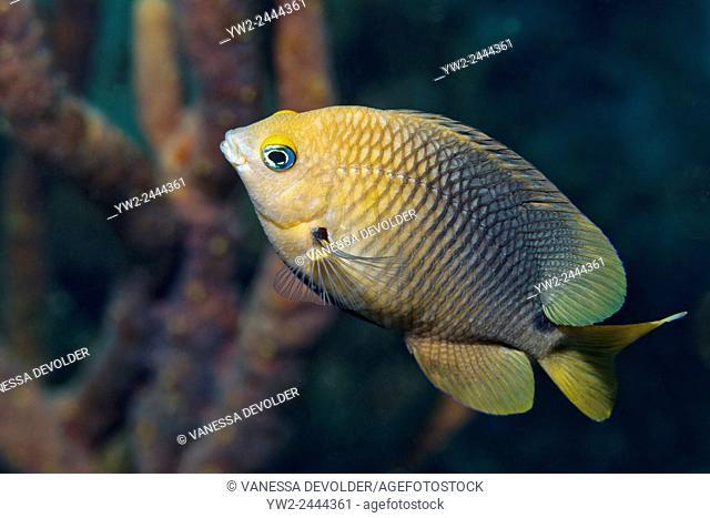Threespot damselfish in the Caribbean sea around Bonaire