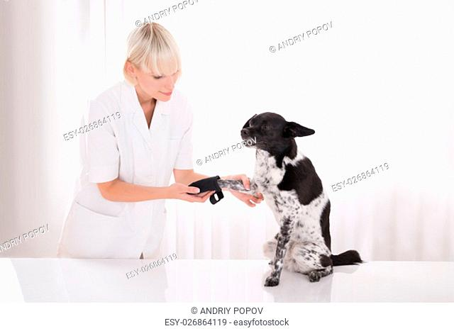 Young Female Vet Putting Bandage On Dog's Paw In Clinic