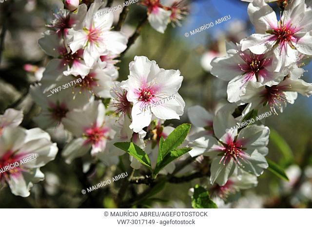Almond tree blossom. Algarve, Portugal