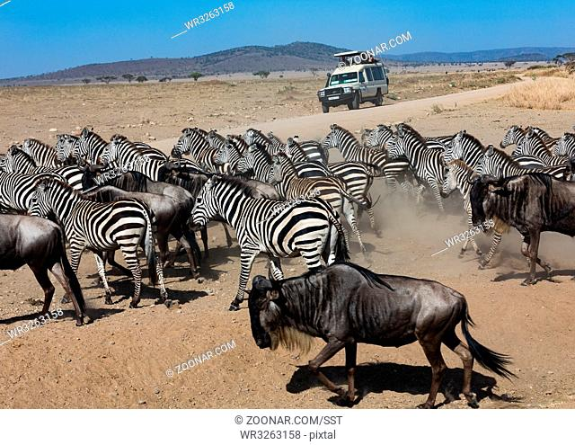 Zebraherde und Gnusherde auf der Flucht im Serengeti Nationalpark, Tansania, Ost Afrika. Zebra herd and Gnus herd on the run in the Serengeti Nationalpark